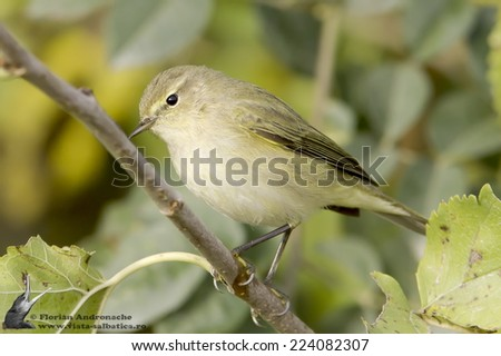 Chiffchaff / Phylloscopus collybita / in natural habitat - stock photo