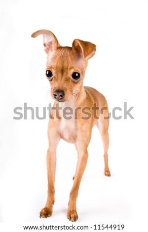 chihuahua - stock photo