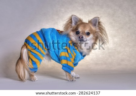 chihuahua - stock photo