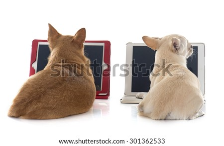 chihuahua and computer in front of white background - stock photo
