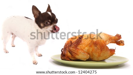 chihuahua and the chicken - stock photo