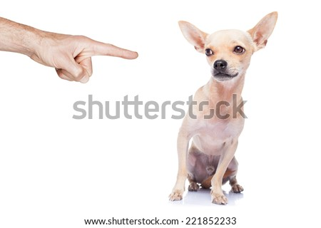 chihuahua dog being punished because of bad behavior by his owner, isolated on white background - stock photo