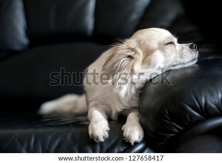 chihuahua dog dozing on black  leather sofa under natural light from window - stock photo