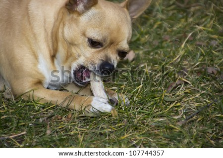 chihuahua dog eating bone with interest - stock photo