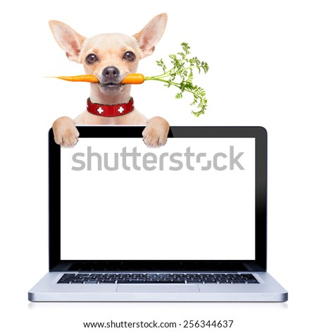 chihuahua dog eating healthy with a carrot in mouth , behind a pc laptop computer screen ,isolated on white background - stock photo