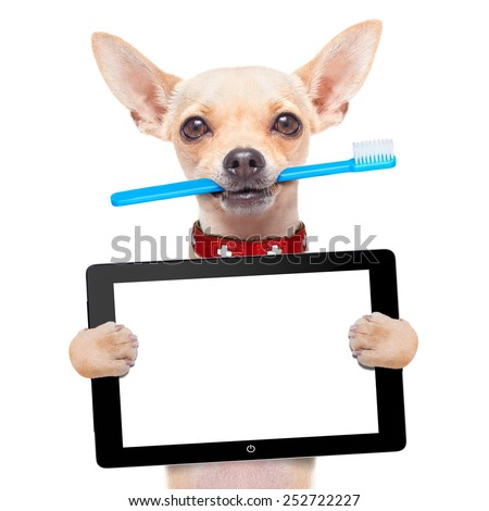 chihuahua dog holding a toothbrush with mouth holding a blank pc computer tablet touch screen, isolated on white background - stock photo