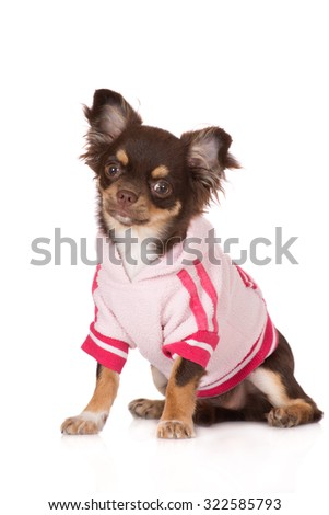 chihuahua dog in a pink sweater - stock photo