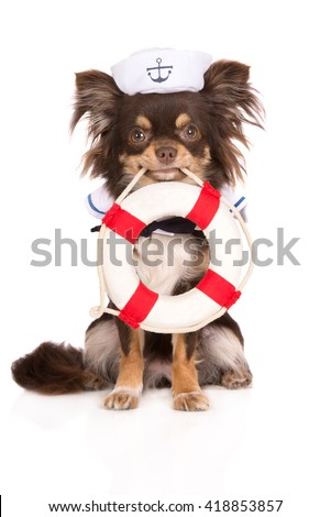 chihuahua dog in a sailor hat holding a life buoy - stock photo