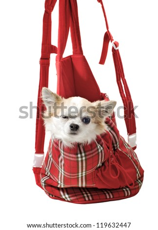 chihuahua dog in bright bag  for pet carrier isolated on white background - stock photo