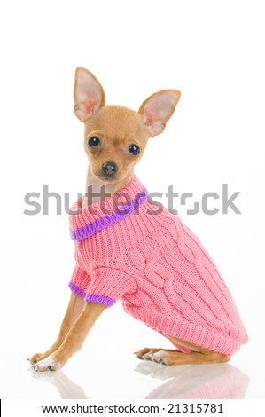 Chihuahua dog in pink sweater, isolated on white background - stock photo