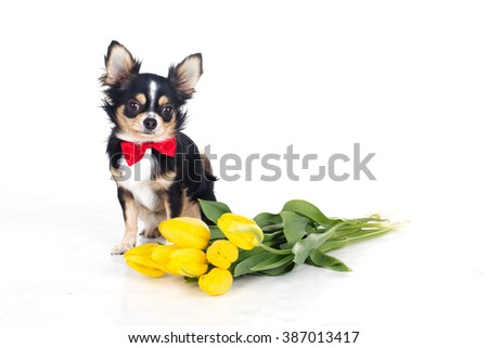 Chihuahua dog is wearing red bow tie with bouquet of yellow flowers - stock photo