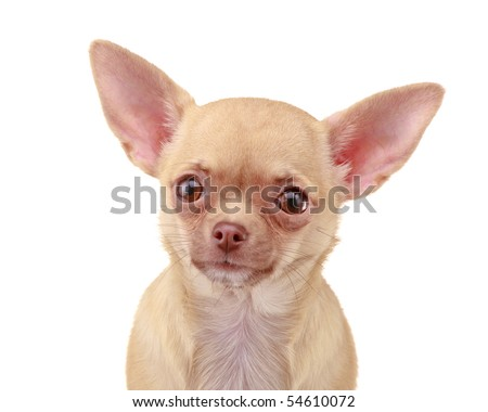 Chihuahua dog, isolated on white background - stock photo