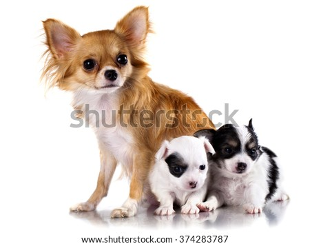 chihuahua dog mother and  puppy on white background, - stock photo