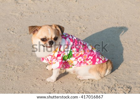 Chihuahua dog on the beach wearing flowers shirt. - stock photo