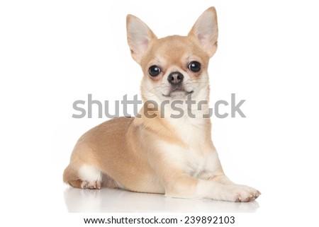 Chihuahua dog posing on white background - stock photo