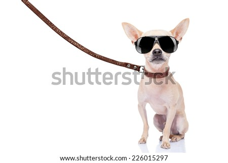 chihuahua dog ready for a walk with owner , with leather leash and cool sunglas ses, isolated on white background - stock photo