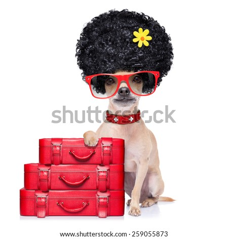 chihuahua dog  ready for vacation summer holidays,  with a bag or luggage, isolated on white background - stock photo