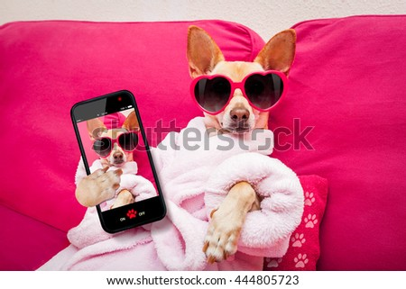 chihuahua dog relaxing at spa wellness center   wearing a  bathrobe and funny sunglasses taking a selfie - stock photo