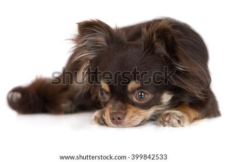 chihuahua dog resting on white - stock photo