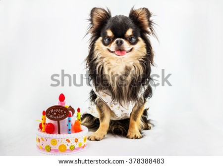 Chihuahua dog sitting on a white background with cake on the side. - stock photo