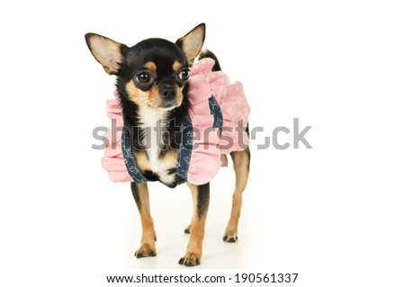 Chihuahua dog standing in dress isolated - stock photo