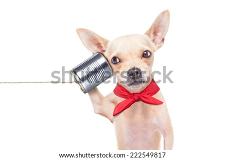 chihuahua dog talking on the phone surpised, isolated on white background - stock photo