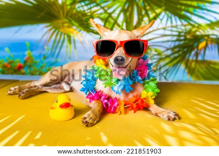 chihuahua dog under the shadow of a palm tree relaxing and resting - stock photo