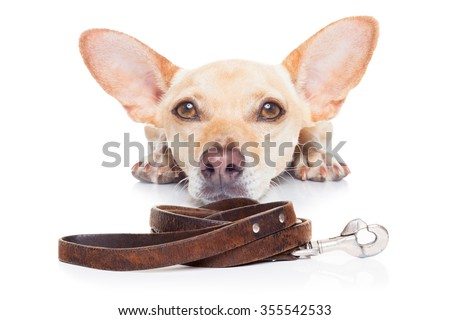 chihuahua dog waiting for a walk with owner, and leather leash  - stock photo
