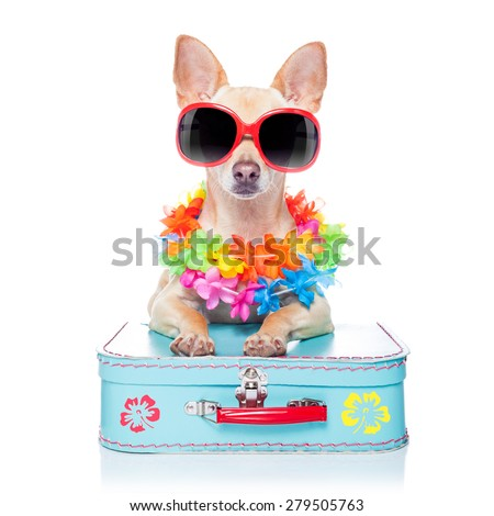 chihuahua dog with bags and luggage or baggage, ready for summer vacation holidays at the beach,isolated on white background - stock photo