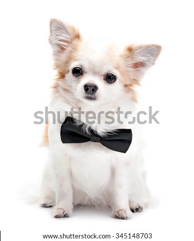 Chihuahua dog  with black bow tie isolated on white background - stock photo