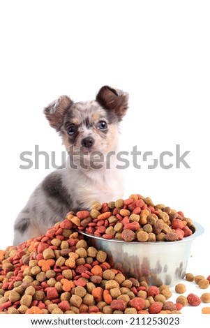 Chihuahua dog with different colored eyes sitting behind a bowl with dog food spilling over - stock photo