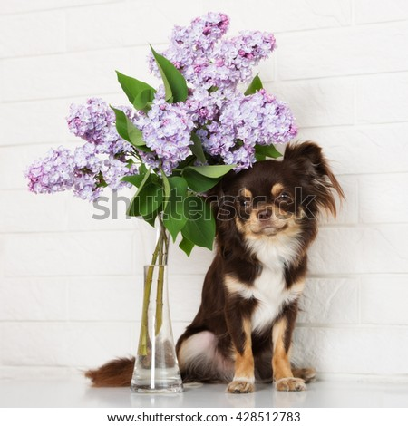 chihuahua dog with lilac flowers - stock photo