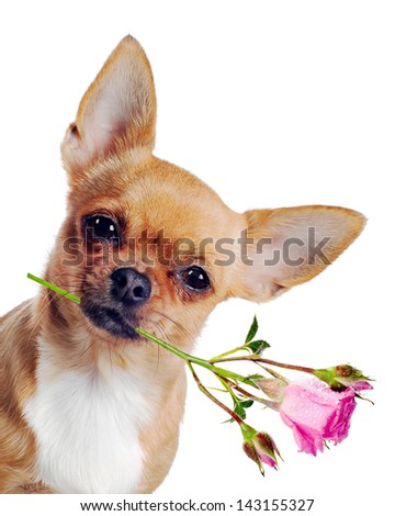 Chihuahua dog with rose isolated on white background - stock photo