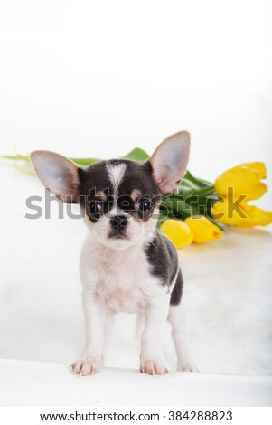 Chihuahua dog with yellow tulips  - stock photo
