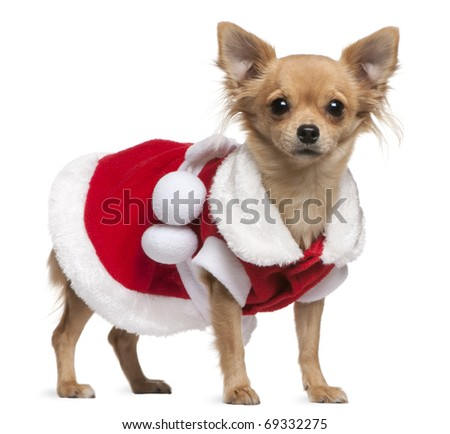 Chihuahua dressed in Santa dress, 18 months old, standing in front of white background - stock photo