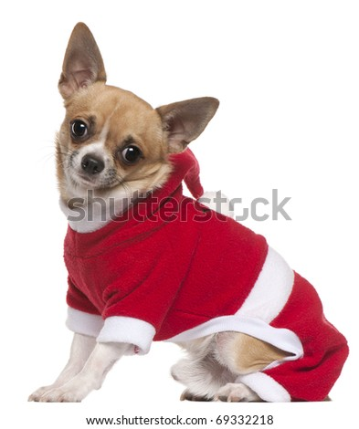 Chihuahua dressed in Santa outfit, 11 months old, sitting in front of white background - stock photo
