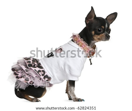 Chihuahua dressed up, 1 year old, dressed up and sitting in front of white background - stock photo
