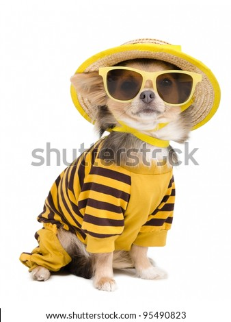 Chihuahua dressed with t-shirt,  straw hat and sun glasses - stock photo