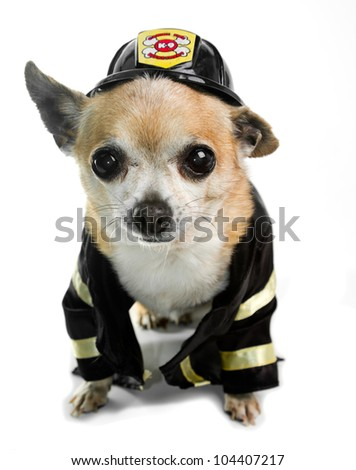 Chihuahua Firefighter - stock photo