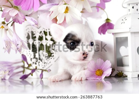 Chihuahua hua puppy and  flowers - stock photo