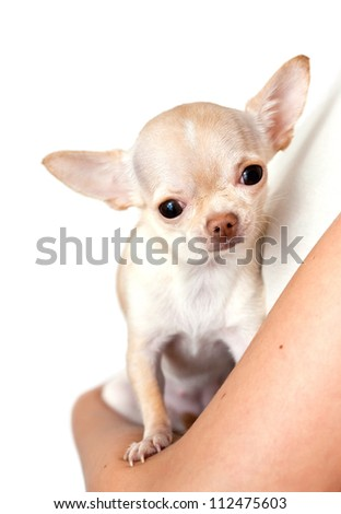 chihuahua in a hand on white background - stock photo