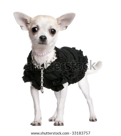 chihuahua in front of a white background - stock photo