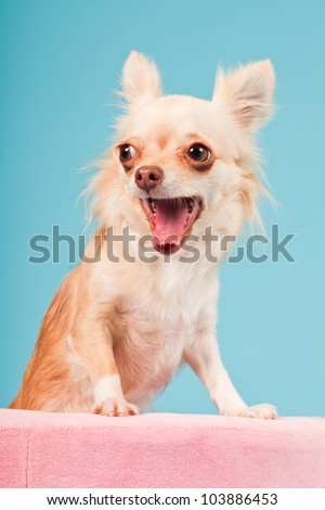 Chihuahua in pink basket isolated on blue background. Studio shot. - stock photo