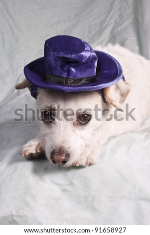 chihuahua in purple hat - stock photo