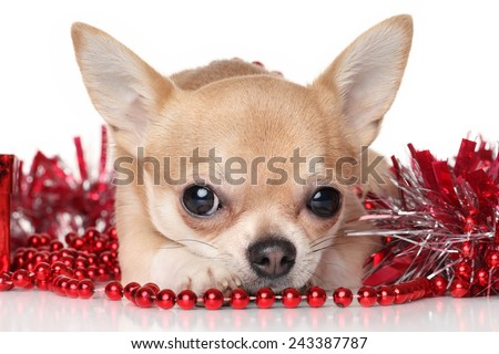Chihuahua in red garlands on white background - stock photo