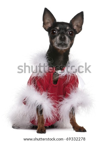 Chihuahua in red sweater with fur, 7 years old, sitting in front of white background - stock photo