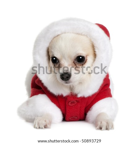 Chihuahua in Santa coat, 7 months old, sitting in front of white background - stock photo