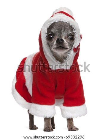 Chihuahua in Santa outfit, 7 years old, standing in front of white background - stock photo