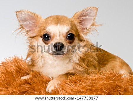 Chihuahua in studio on a neutral background - stock photo