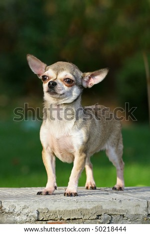 chihuahua is a brave small dog on a stone - stock photo